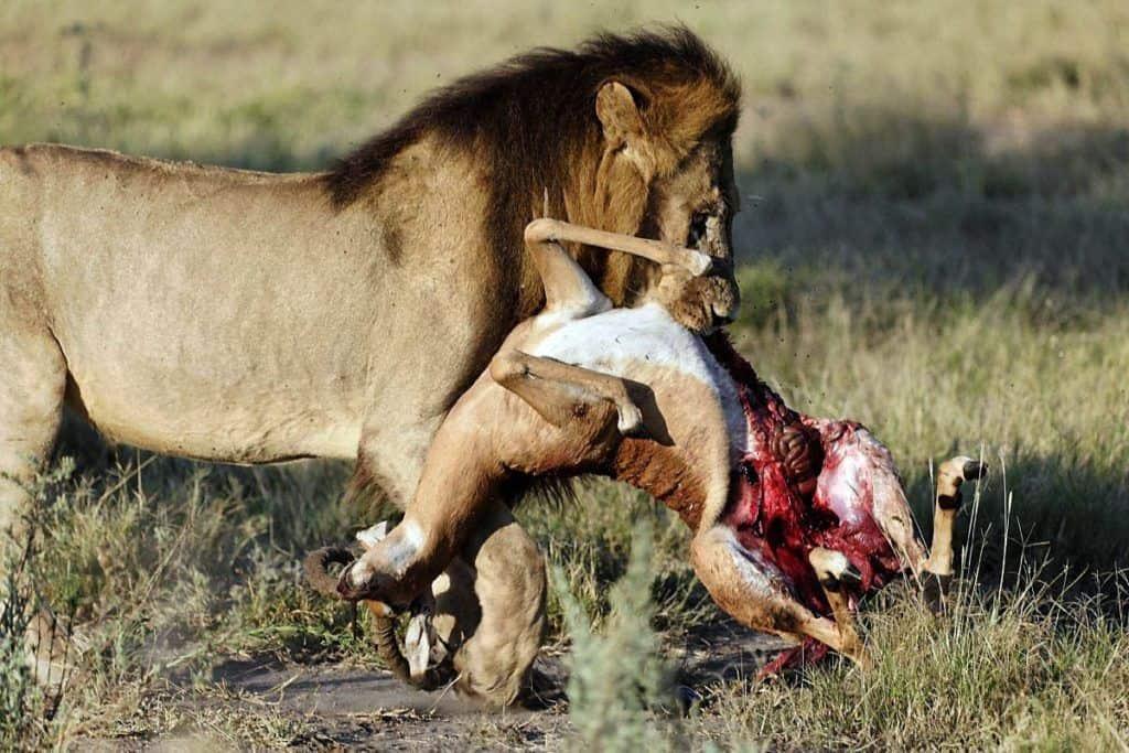 leones comen a su presa