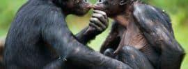 pareja-bonobo